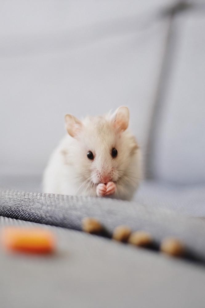 Вся правда о домашних крысах.