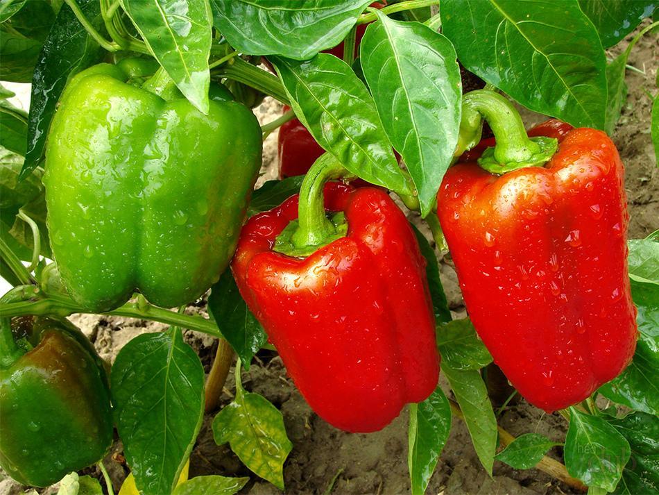 Продукты питания в моём огороде. Что можно вырастить своими силами?