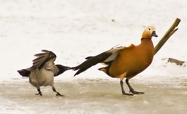 Анекдот про гордую птицу