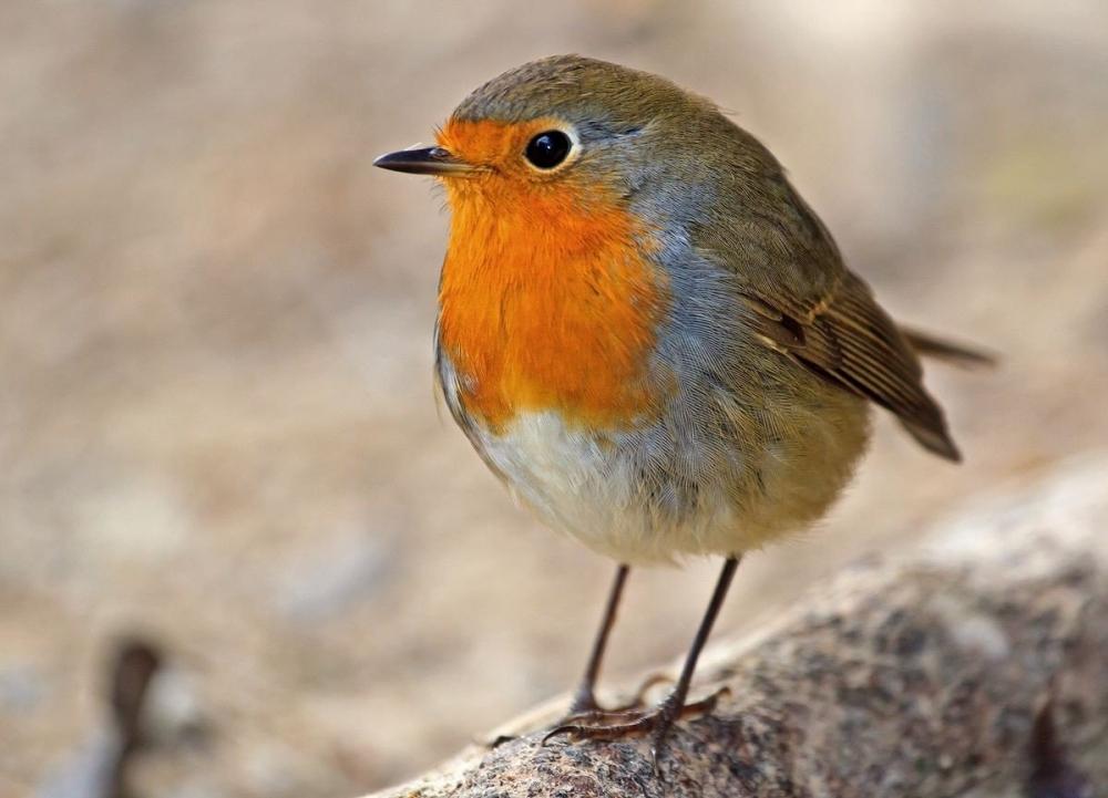 У этих перелетных птиц поют и самцы и самки, но репертуар самок более беден, чем у самцов