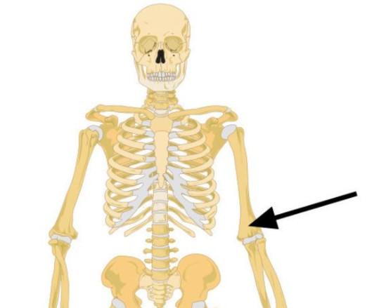 Поговорим о скелете. Что это за кость?