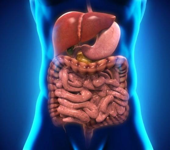 В каком отделе пищеварительной системы на стенках располагаются ворсинки?