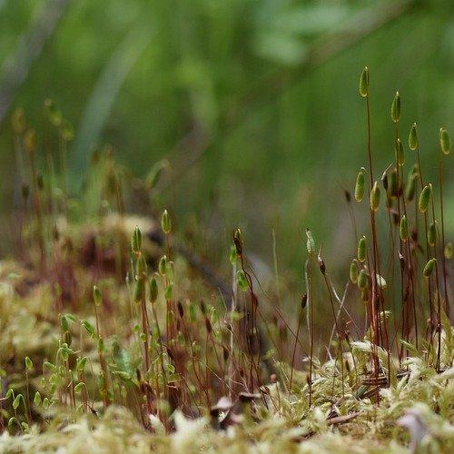 Этот мох не подвержен гниению и обладает бактерицидными свойствами. Использовался в медицине и для утепления деревянных изб.