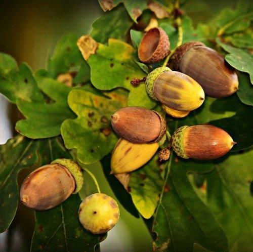 Кора этого растения используется при лечении диареи и заболеваний полости рта. Дубильные вещества оказывают вяжущее и противовоспалительное действие.