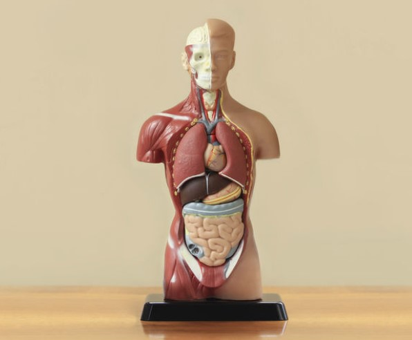 В каком органе человека есть водопровод?