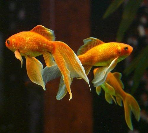 Это — одна из самых популярных аквариумных рыб. Нам она известна как золотая рыбка. А как еще она называются?