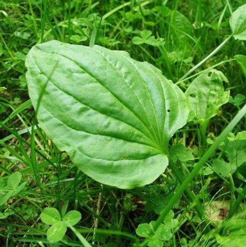 Листья этого растения известны нам с раннего детства. Они обладают кровоостанавливающим, противовоспалительным и ранозаживляющим действиями.