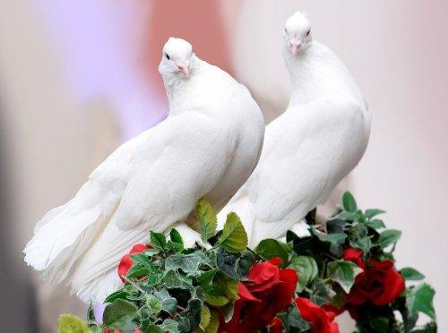 Эти птицы — символы мира и любви. Сейчас их содержат просто за красоту и грацию полета. Раньше же их использовали для доставки почты на дальние расстояния.