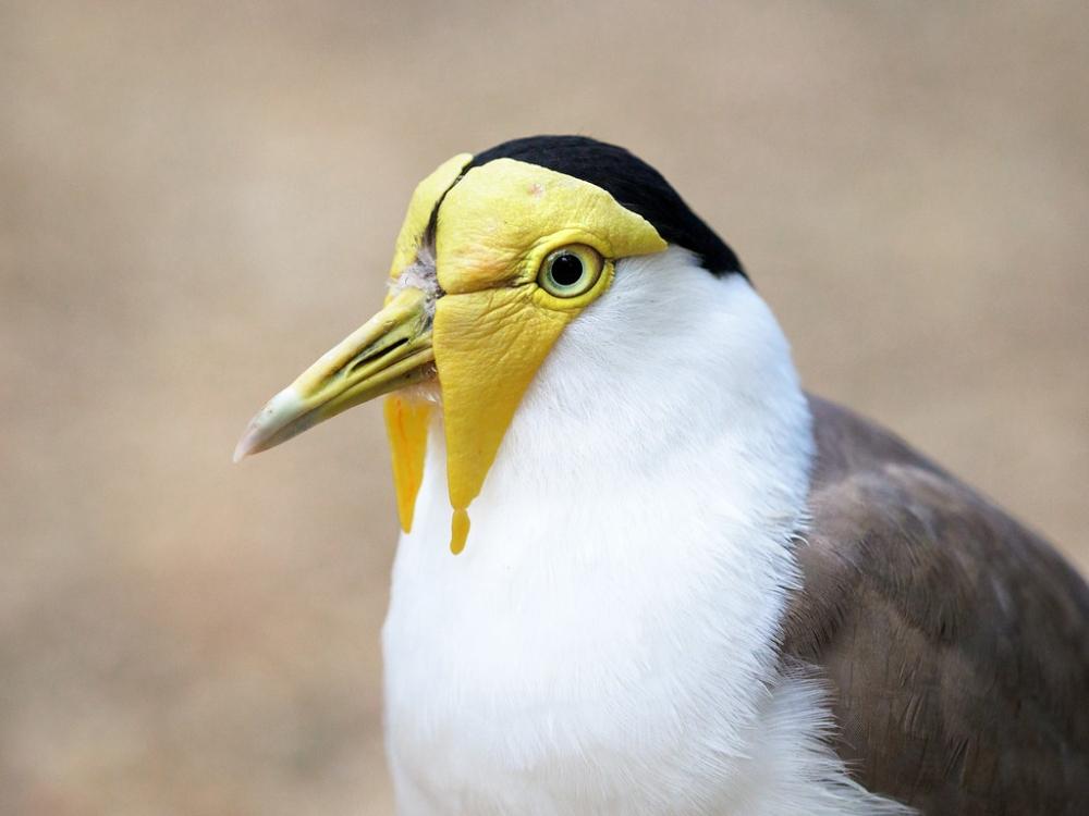 Эти птицы обитают в Тасмании, Австралии, Новой Зеландии и Новой Гвинее. Они не боятся людей, поэтому часто встречается в городских парках.