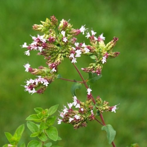 Настой, получаемый из листьев этого растения используют в качестве отхаркивающего средства при кашле.