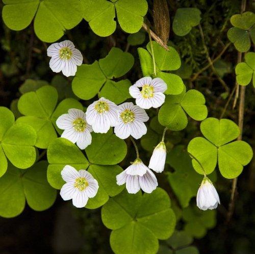 Это очень теневыносливое растение, что позволяет ему жить под плотным пологом елового леса.