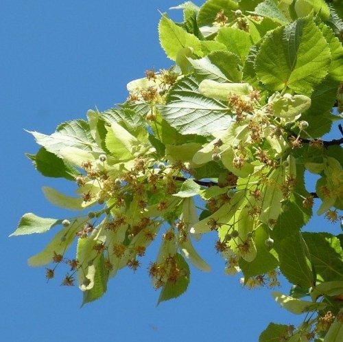 Настой из цветов этого растения традиционно используется как жаропонижающее при простудных заболеваниях.