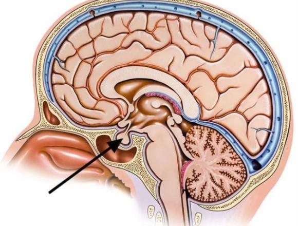 А это головной мозг в разрезе. Что отмечено стрелкой?