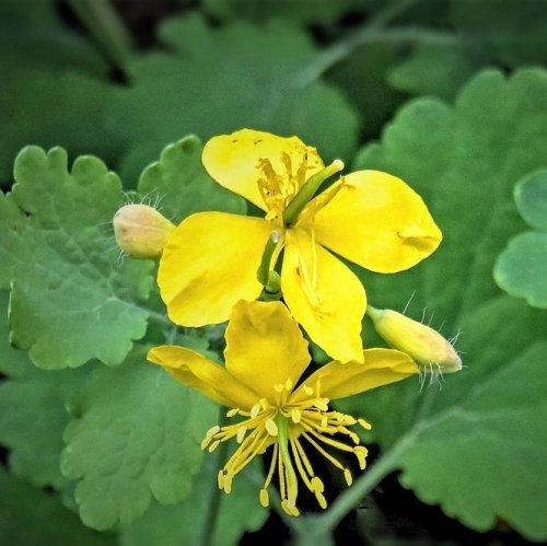 Существует легенда, согласно которой ласточки лечат своим ослепшим птенцам глаза соком этого растения.