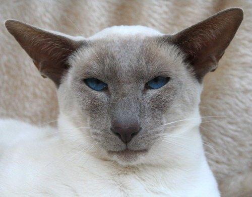 Окрас у этих кошек носит название колор-поинт. При этом окрасе у этих животных светлая шерсть на корпусе с более тёмным окрасом на кончиках лапах, морде, ушах и хвосте.