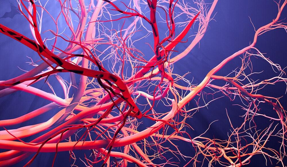 В каком из этих кровеносных сосудов кровь более насыщена кислородом?
