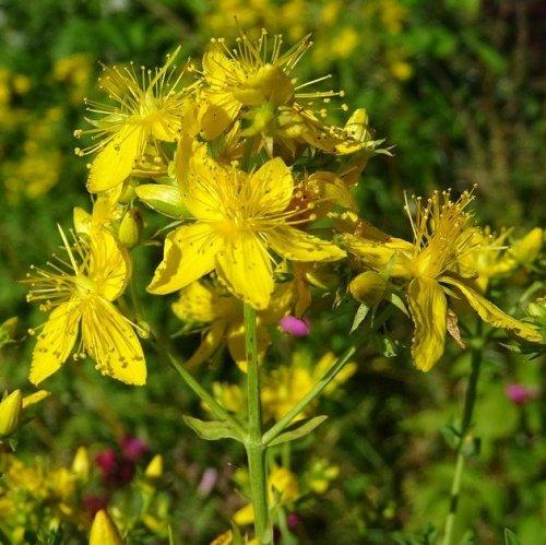 Экстракт этого растения используется для изготовления растительных антидепрессантов, продаваемых без рецепта.