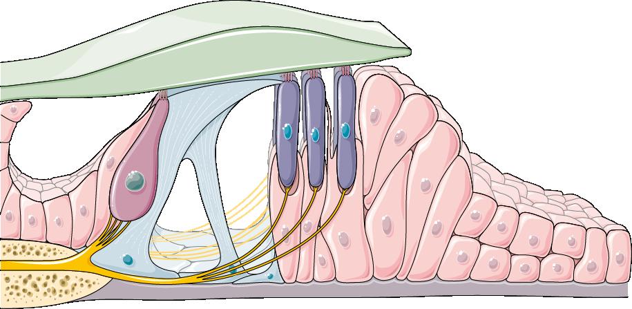 Что произойдет с человеком, если кортиев орган в его теле перестанет функционировать?
