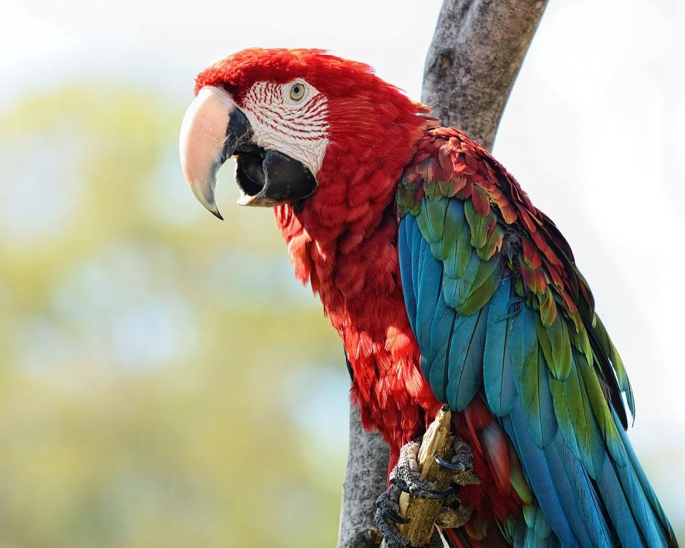 Этот крупный попугай — житель тропического леса. Не сбивается в стаи, ведет одиночный или парный образ жизни.