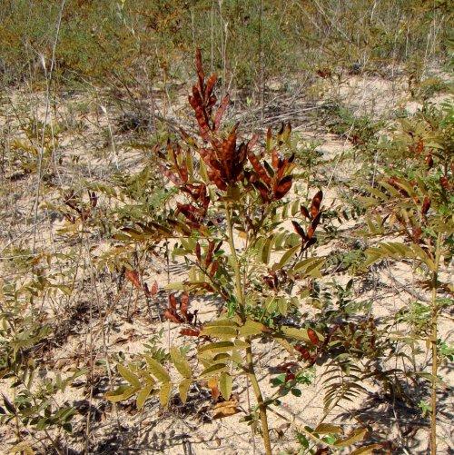 В качестве лекарственного сырья употребляют корни и корневища этого растения, так называемый лакричный корень. Используется он при лечении кашля с загустевшей и трудно отделяемой мокротой.