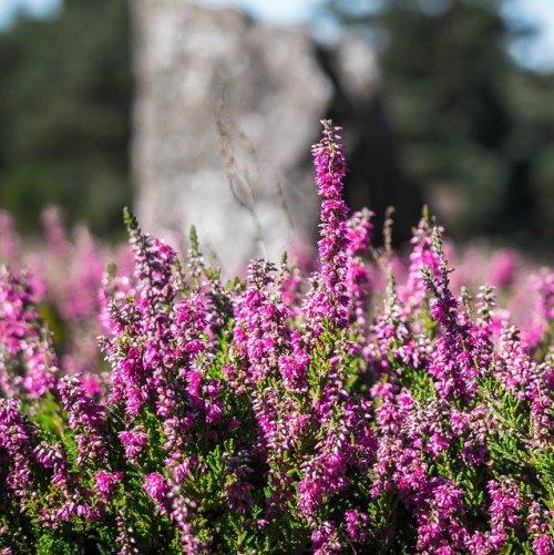 Это растение можно встретить в сосновых лесах, на гарях, торфяных болотах. Именно его название звучит в известной балладе Роберта Стивенсона о гибели последних пиктов.