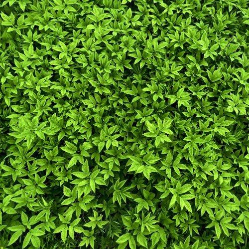 Это растение можно встретить не только в лесу, но и в городе. Оно теневыносливо, но не цветет в тени. Молодые листья и черешки упортебляют в пищу.