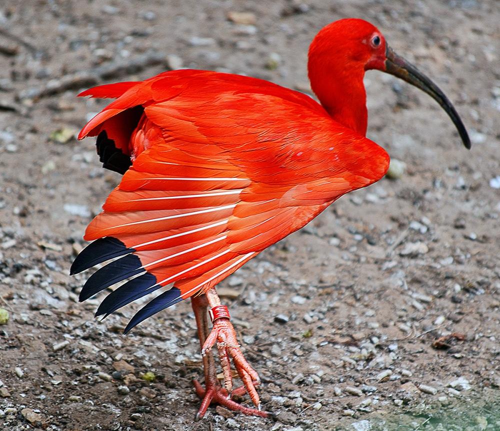Самец и самка у этих птиц, живущих на севере Южной Америки, выглядят одинаково. Живут они большими стаями, насчитывающими по несколько сотен сородичей.