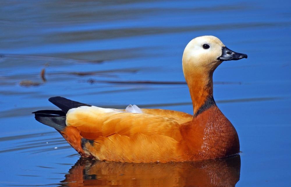 Эта утка своим тяжёлым полётом скорее напоминает гусей. В период гнездования у самцов, появляется тёмное кольцо на шее.
