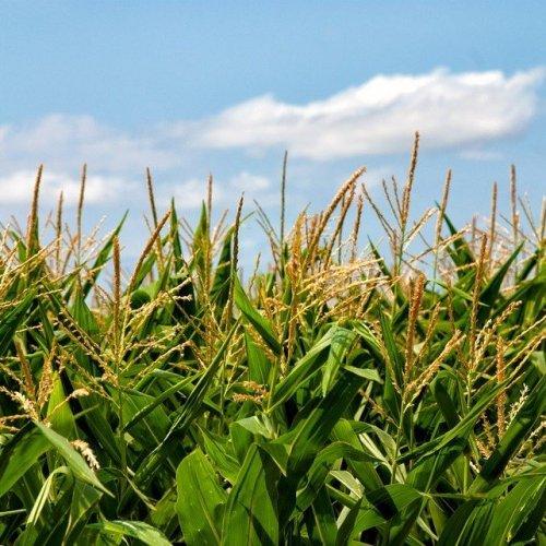 Столбики с рыльцами этого растения обладают желчегонным и диуретическим свойствами.