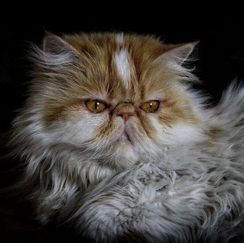Эта порода домашних кошек одна из старейших и популярных во всем мире. На сегодняшний день в породе существует более 100 окрасов.