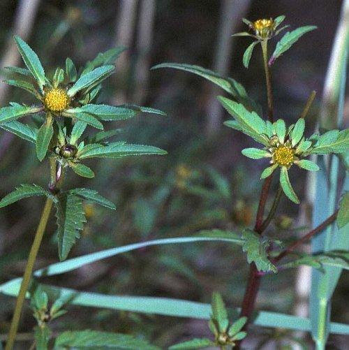 Листья этого растения обладают потогонным и мочегонными свойствами, нормализуют обмен веществ и улучшают пищеварение.