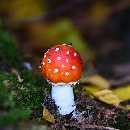 Этот гриб из-за своей яркой, запоминающейся окраски стал героем многих детских мультфильмов и сказок.