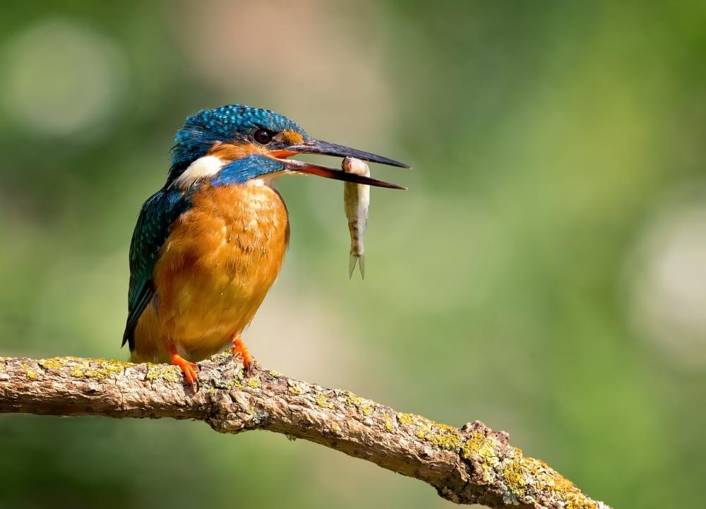 Эта некрупная птица размером с воробья питается мелкой рыбой, которую подкарауливает, сидя в засаде на ветках, расположенных над водой.