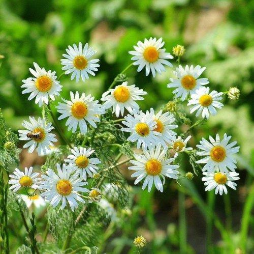Это одно из самых употребляемых лекарственных растений в мире. В качестве лекарственного сырья используют соцветия этого растения.