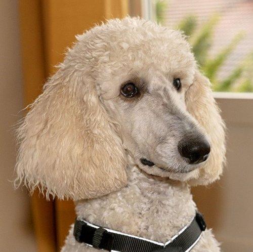 Это порода собак одна из самых древних. Существуют разные версии о их происхождении. Некоторые исследователи считают их родиной Францию.