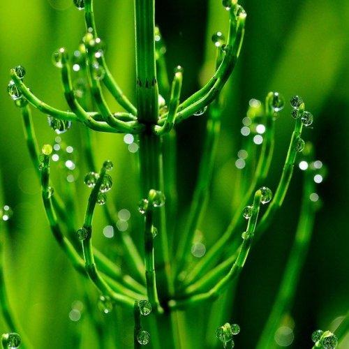 Настой из этого растения обладает диуретическим и противовоспалительным эффектом.