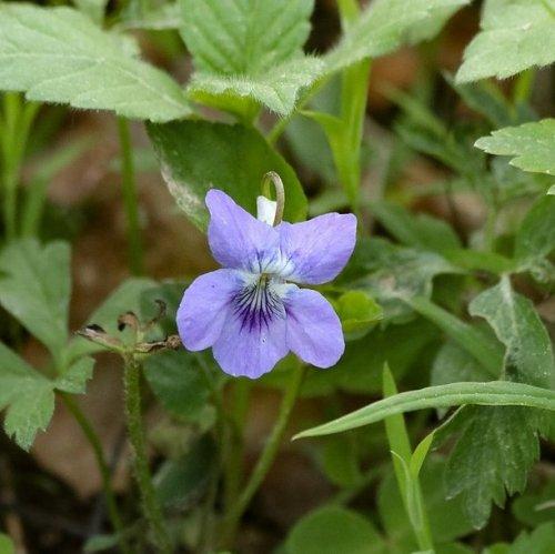 Это растение встречается почти по всей территории Европы. За пределами России оно занесено в Красные книги Эстонии и Финляндии.