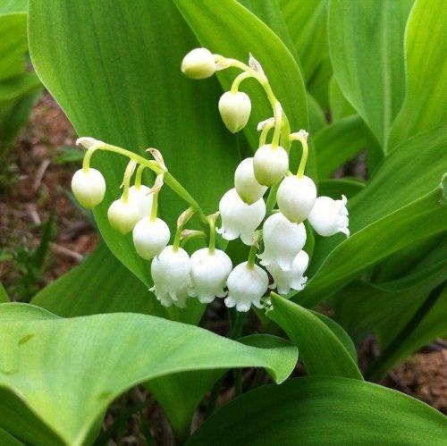 Это лекарственное растение было введено в русскую научную медицину С. П. Боткиным. Используется оно в составе настоек для лечения сердечных заболеваний.