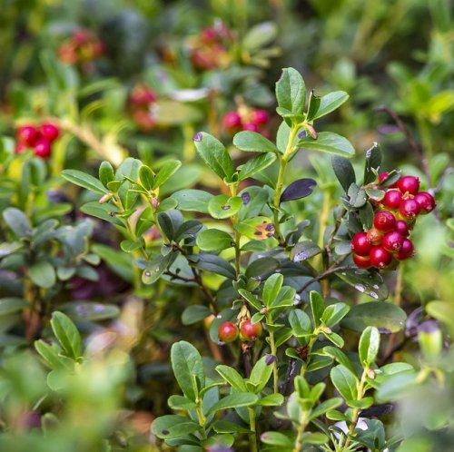 Видовое название этого растения в переводе означает — «виноградная лоза с горы Ида». Эту ягоду очень любят тетерва и глухари. Она может сохраняться под снегом до самой весны.
