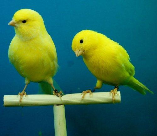 Этих миловидных птичек разводят в домашних условиях из-за их мелодичных песен. Их пение очень ценится любителями домашнего птицеводства.