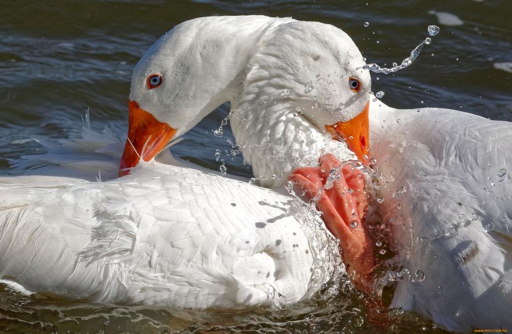 Эта домашняя птица разводится человеком с давних времен не только ради мяса и перьев. У древних греков они содержались как священные птицы, посвященные Персефоне и Приапу.
