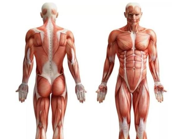 Самая большая мышца в теле — это…
