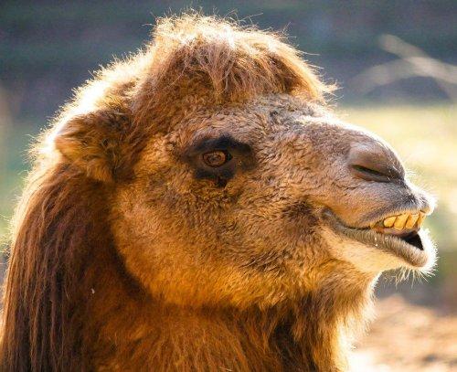 Это домашнее животное известно всем. А вот как называется одногорбая разновидность верблюдов вы знаете?