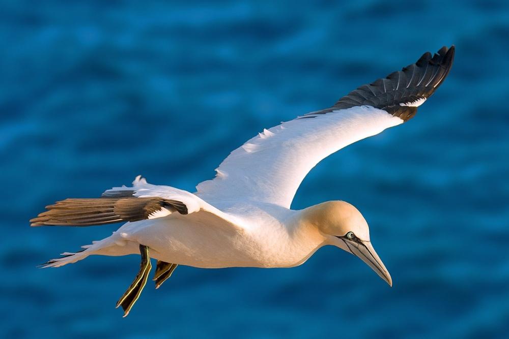 Эти крупные морские птицы — отличные ныряльщики, с большой высоты ныряющие за рыбой, находящейся на глубине нескольких метров.