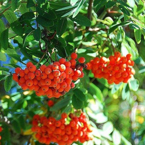 Настой из плодов этого растения широко используется как натуральный мультивитаминный комплекс.